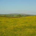 Buttercups and Caton Moor