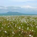 Cotton Grass and Ingleborough