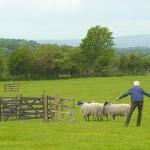 Lowgill sheepdog trials